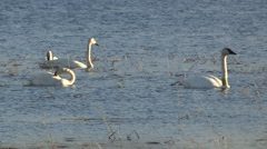 Four Trumpeter Swans in a Marsh Floating with vocals Stock Footage