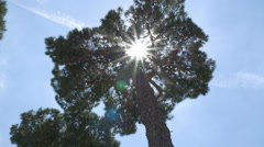 Stone Pine tree in Rome, Italy. Handheld stabilized HD from 4K shot. Stock Footage