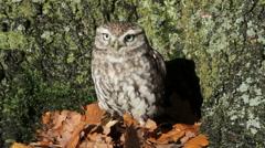 Little Owl (Athene noctua) Stock Footage