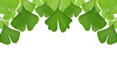 Ginkgo biloba leaves Stock Photos