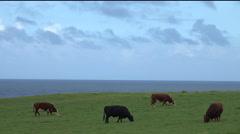 4K Cows Graze On Grass Serene Ocean Blue Sky Background Stock Footage