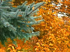 Branch of blue spruce in autumn - stock photo