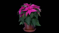 Time-lapse of growing poinsettia Christmas flower, RGB + ALPHA matte (720p) Stock Footage