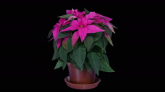 Time-lapse of growing poinsettia Christmas flower in RGB + ALPHA matte format Stock Footage