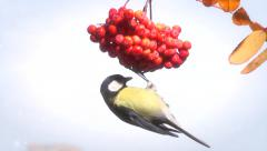 Bird on a branch. Tit. Bird on a branch of rowan on a background the winter sky. Stock Footage