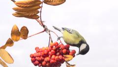 Tit. Bird on a branch of rowan. Slow motion 240 fps. Stock Footage