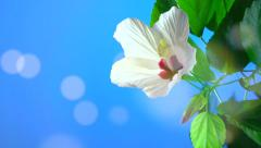 white flower blooming in time-lapse on a blue background. - stock footage