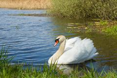 Mute swan, Cygnus, single bird on water - stock photo