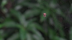 4K Incredible Tiny Crab Spider Crawls And Swings On Giant Spider Web Threads Stock Footage