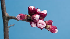 Blooming Flowers of apricot on a blue background Stock Footage
