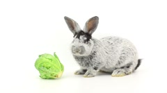 Grey rabbit eats cabbage isolated on a white background, studio shot Stock Footage