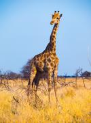 Stock Photo of Standing giraffe in savanna