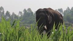 Asian Elephant on the green grass Stock Footage