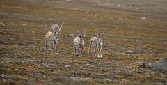 Stock Photo of Three Svalbard reindeer Rangifer tarandus platyrhynchus on tundra Spitsbergen
