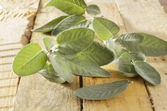 Fresh Sage Salvia officinalis - stock photo