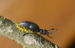 Violet oil beetle Meloe violaceus Lower Austria Austria Europe - stock photo