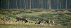 Stock Photo of Fallow deer Dama dama ranking fights bucks during the rut Hesse Germany Europe
