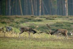 Fallow deer Dama dama ranking fights bucks during the rut Hesse Germany Europe Stock Photos