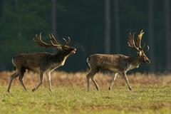 Stock Photo of Fallow deer Dama dama bucks during the rut Hesse Germany Europe