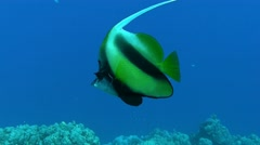 Butterflyfish, Reef, Red Sea, Egypt - stock footage