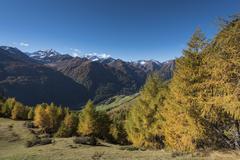 Yellowed European larches Larix decidua autumnal mountain forest Lasorling and - stock photo
