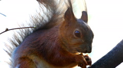 Funny red squirrel on branch - stock footage