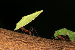 Leafcutter ants Atta sexdens transporting cut leaves group found in Central Stock Photos