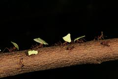 Leafcutter ants Atta sexdens transporting cut leaves found in Central and South Stock Photos