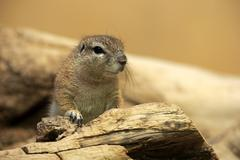 Cape ground squirrel Xerus inauris adult alert native to South Africa captive Stock Photos