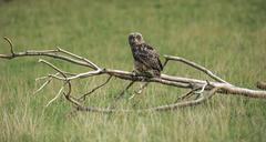 Eurasian Eagleowe Bubo bubo adult on lookout sitting on dry branches Stock Photos
