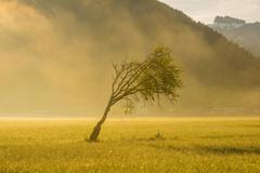 European beech Fagus sylvatica windblown tree Lorettowiesen Oberstdorf Allgau Stock Photos