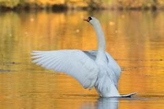 Stock Photo of Mute swan Cygnus olor flapping wings in autumnally coloured water Hesse Germany