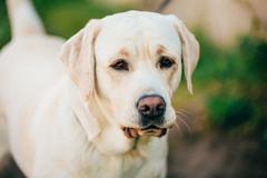 Stock Photo of Close Up Adult White Labrador Dog