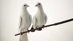 Two white pigeons on branch Stock Footage