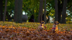 Puggles sitting in the leaves Stock Footage