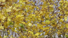 4K Windy fall leaves swaying in the breeze on a cold autumn day - stock footage