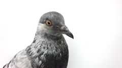 Gray pigeon on a white background Stock Footage