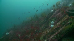Sewll kelp reef with meny fish Stock Footage