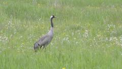 Common Crane foraging in field Stock Footage