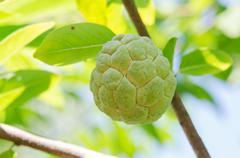 Custard apples fruit - stock photo