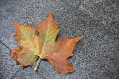 Stock Photo of Autumn red maple leave on granite