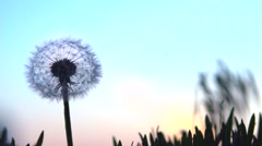 Dandelion seeds blown up by the wind. Slow motion 240 fps. Stock Footage
