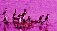 SEABIRDS sitting on a tree in a Lagoon - stock footage