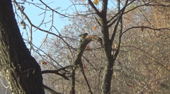 Tit and poplars, river - stock footage