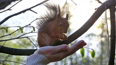 Red squirrel taking nuts from female palm - stock footage