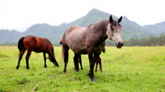 Herd of horses grazing in mountains - stock footage