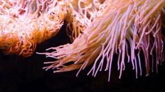 Sea anemone underwater close up Stock Footage