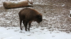 Brown bison walking in winter forest Stock Footage