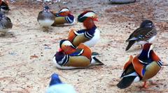Flock of mandarin ducks on river shore Stock Footage