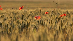 Golden ripe cereals field and red poppies flower at sunset, fertile nature Stock Footage